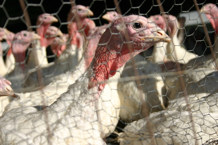 Trump tells impeachment jokes at annual turkey pardon event