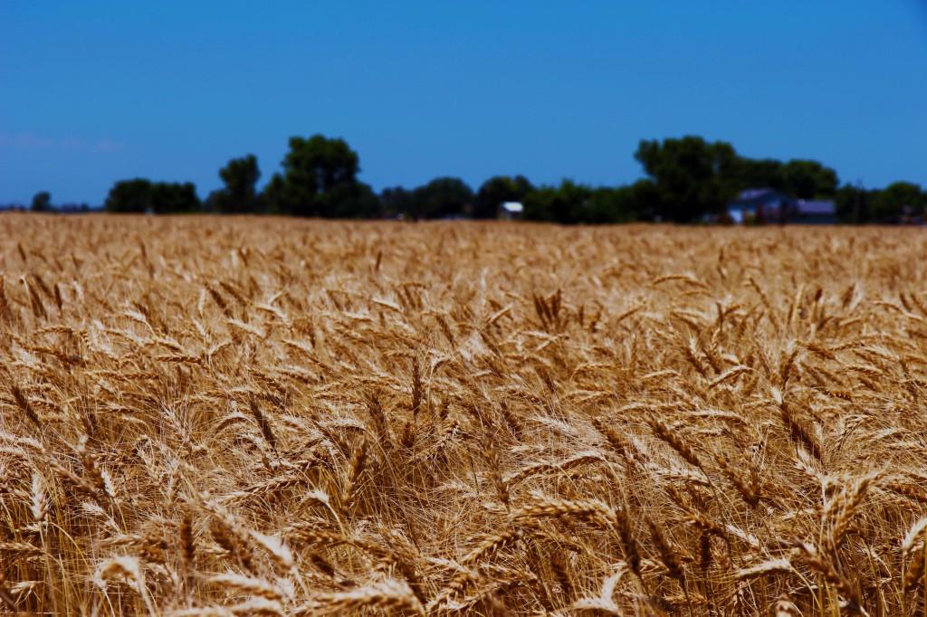 Day 13, Kansas Wheat Harvest Report