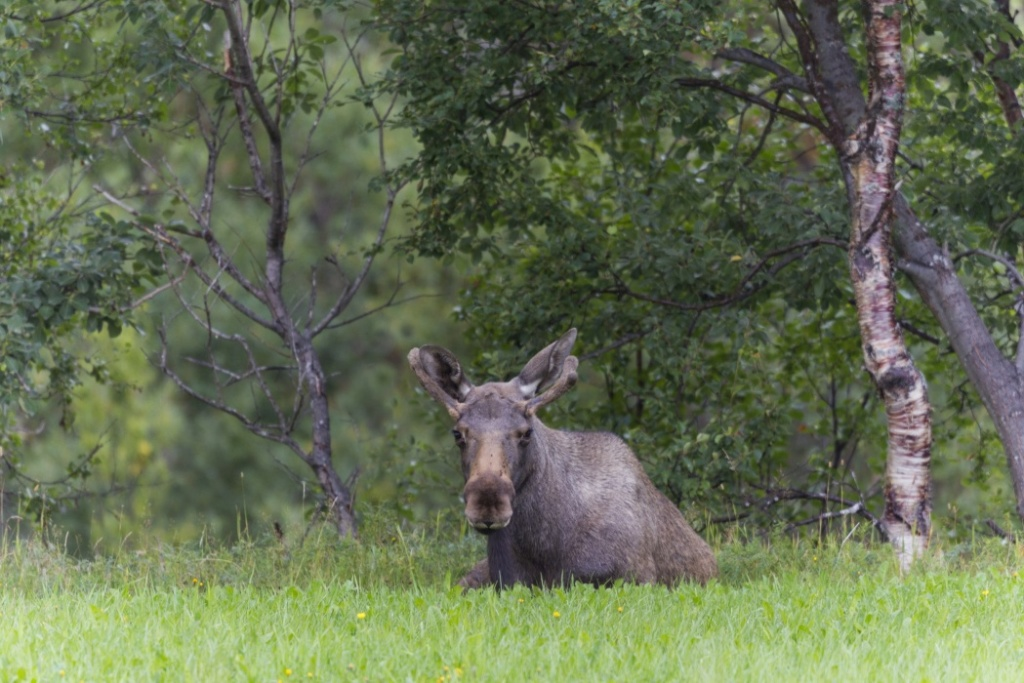 Man recovering after moose attack on northern Colorado ranch