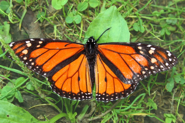Monarch butterfly listed as 'warranted but precluded'