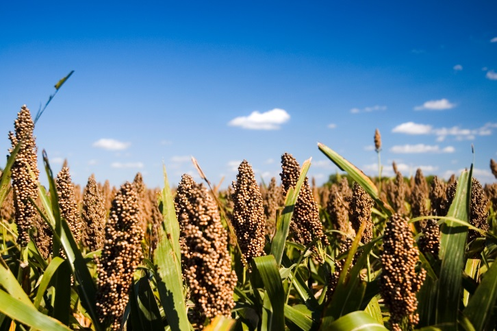 Research is Probing Ways to Increase Yields of Sorghum—and Other Crops