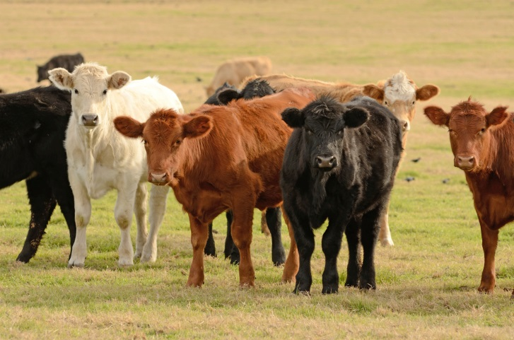 Application process temporarily paused for livestock producer small business stabilization grants