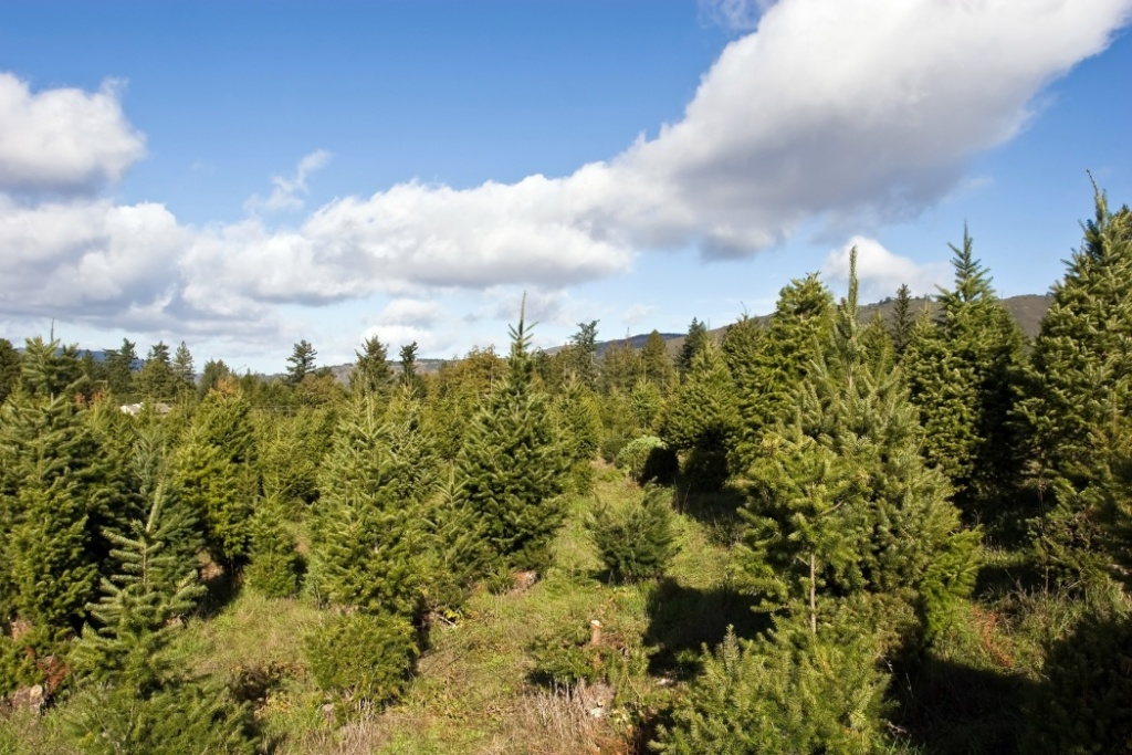 Many turn to real Christmas trees as bright spot amid virus