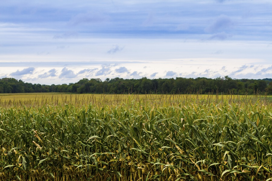 Audio: A dry, hot summer and the corn harvest in western Nebraska