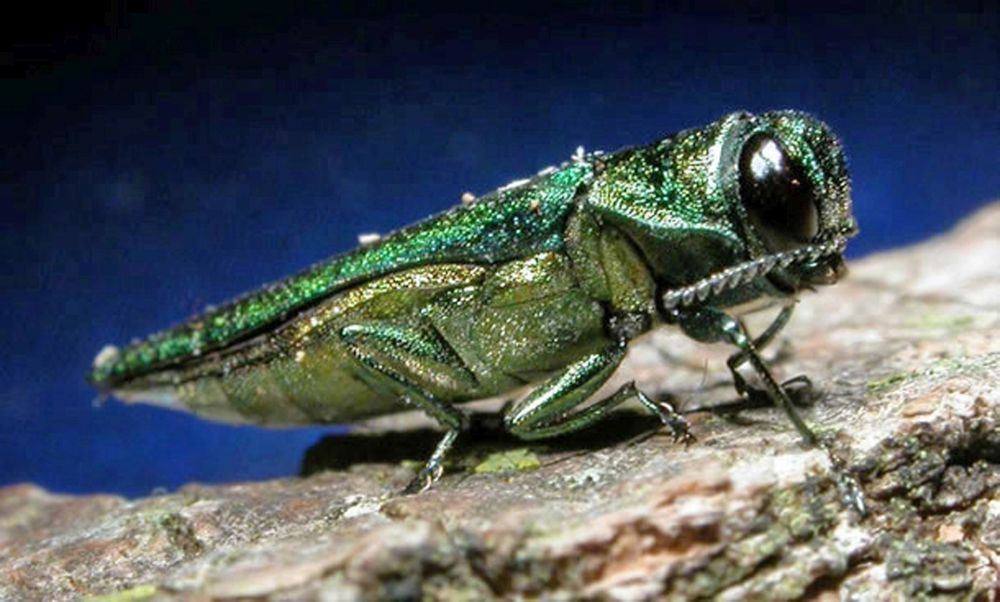 Emerald Ash Borer Discovered in Saunders County