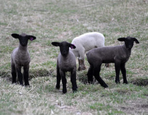 Does Out-of-Season-lambing offer profit opportunities?