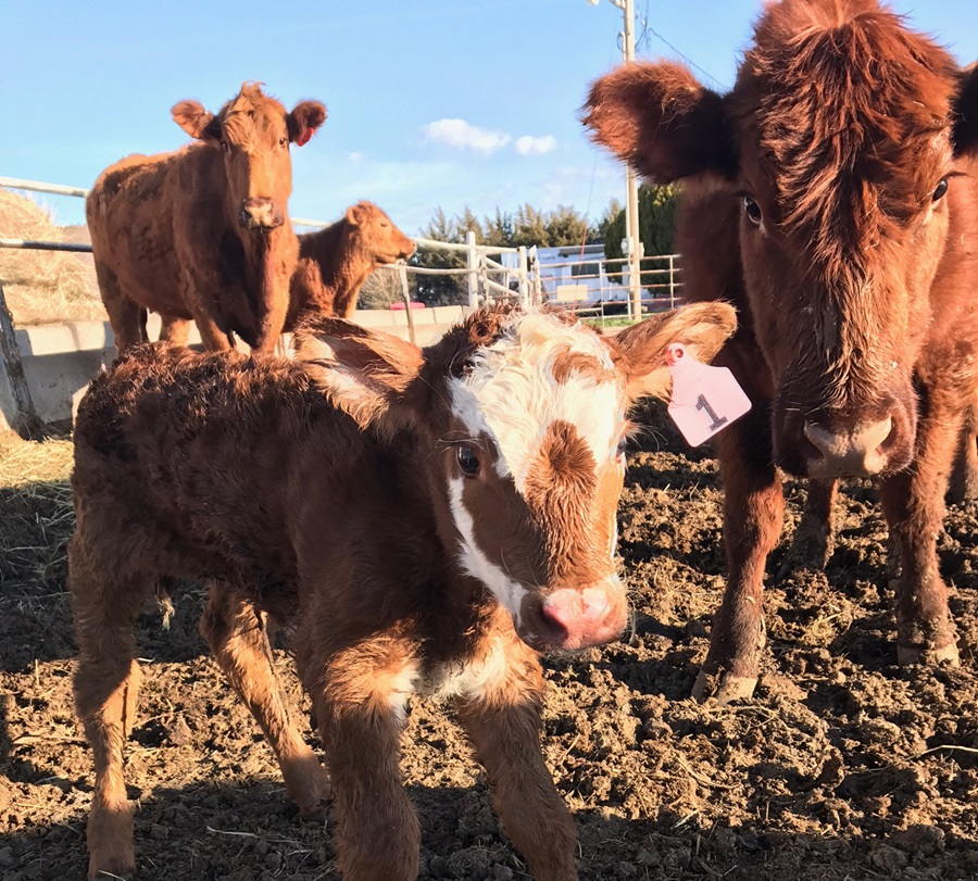 Calving Schools offered to assist area beef producers