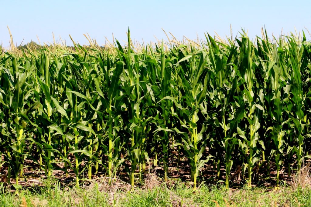 NCGA Corn Yield Contest Deadline Extended