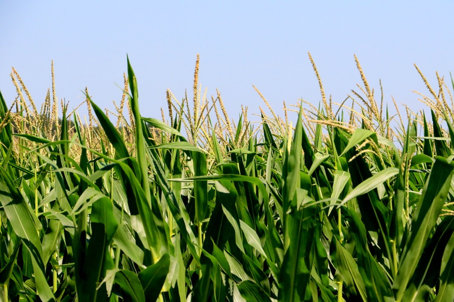 Records Broken in 2019 NCGA Corn Yield Contest