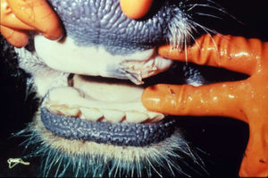 Agriculture Groups Urge USDA to Quickly Establish Foot-and-Mouth Disease Vaccine Bank