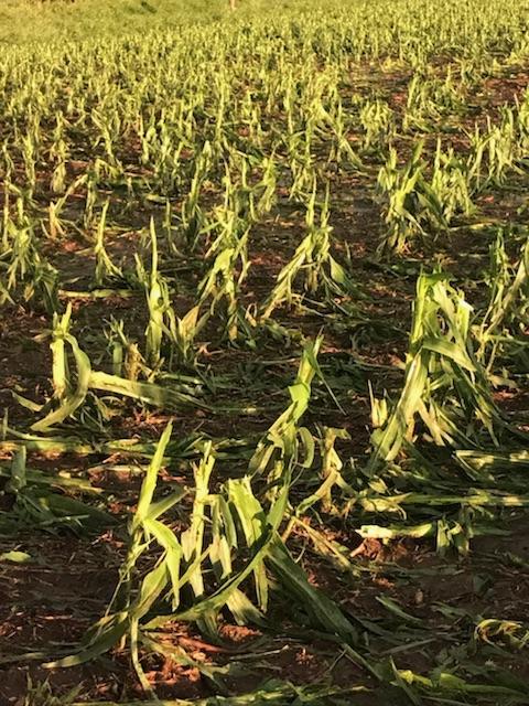 Hail Damages Crops in Northeast Nebraska