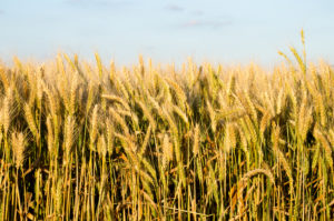 Wheat export pace remains strong