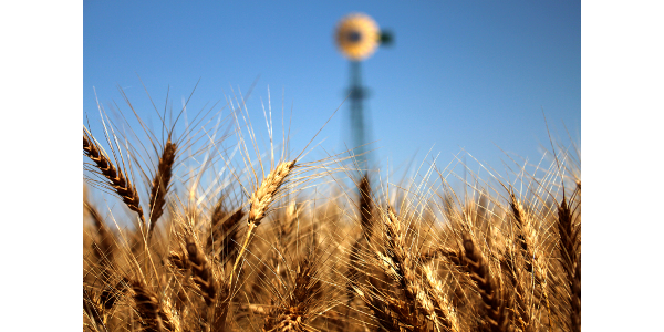 K-State releases three new wheat varieties