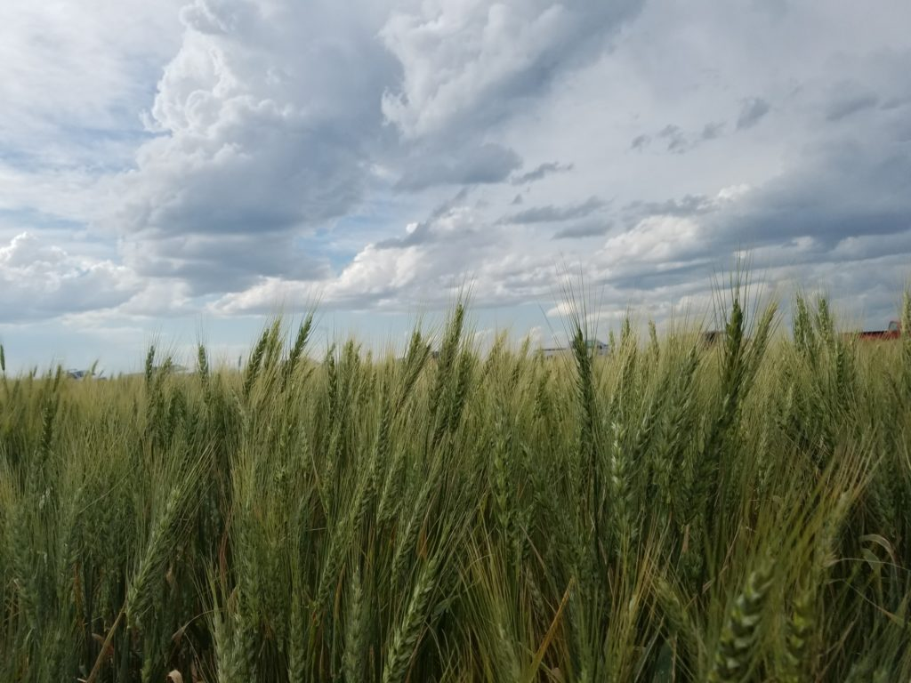 USDA projects lowest Nebraska winter wheat crop on-record