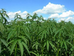 Tests find some early Arizona hemp crops have too much THC