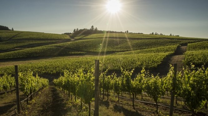 Oregon vineyards face losses amid concerns about smoke taint