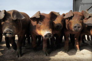 New Kansas State University Study Confirms Possible Danger of Imported Feed Contaminated with African Swine Fever