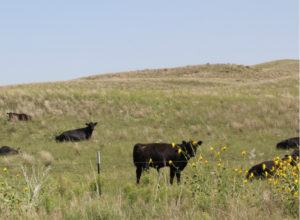 Dry conditions and tough decisions ahead for cattle producers