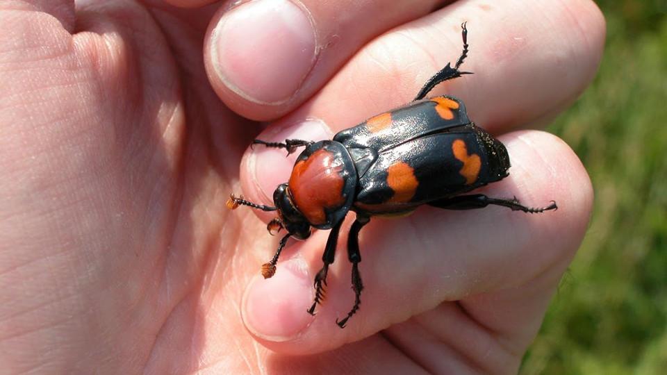 Husker uncovers buried secrets of endangered beetle