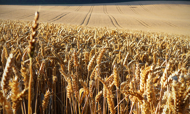 Kansas wheat growers to hold annual meeting Aug. 14