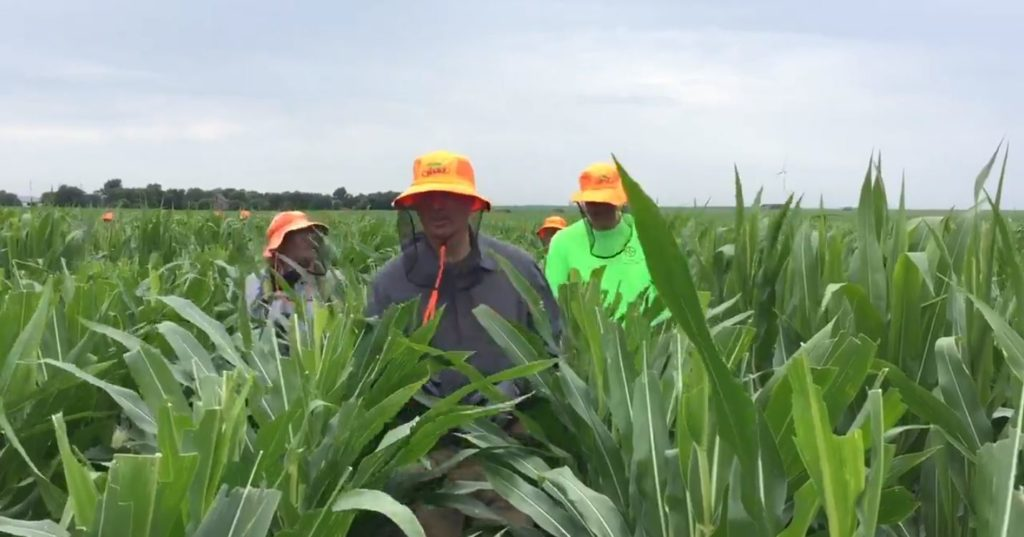 (Video) Gov. Ricketts Detassels with Young Nebraskans, Meets with Seed Corn Companies