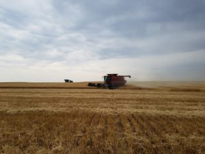 Forecast: Kansas farmers harvesting fewer bushels of wheat