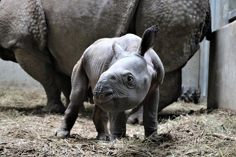 Omaha zoo announces historic birth of endangered Indian Rhino calf