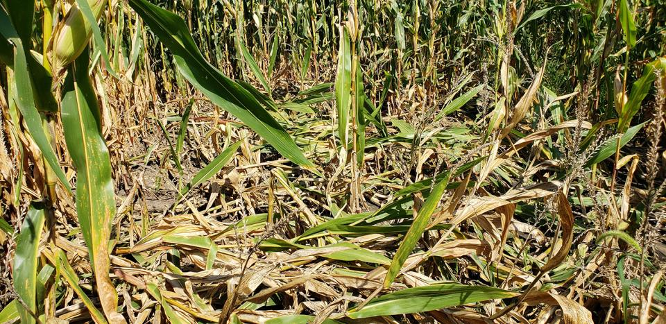Stalk Quality Concerns Widespread in Areas of Nebraska