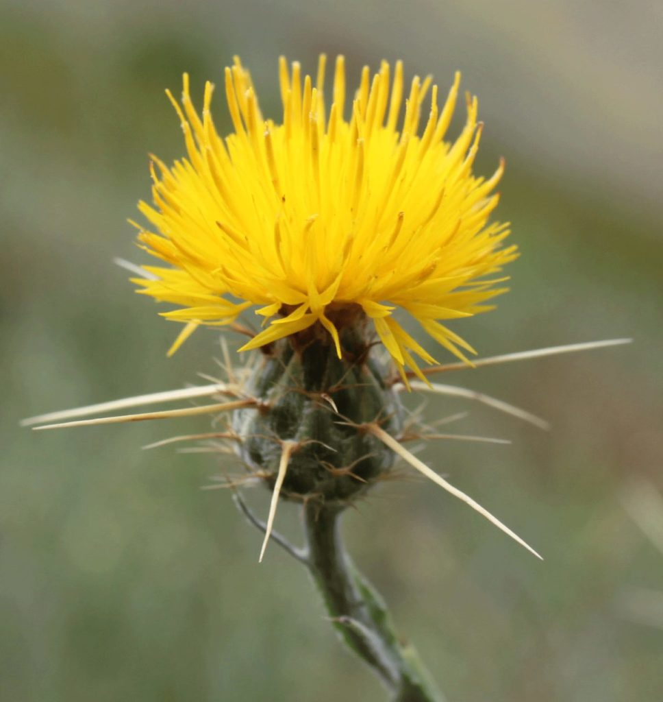 US approves releasing non-native insect to control thistle