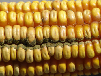 Corn Growers Continue Search for Solutions to Aflatoxin