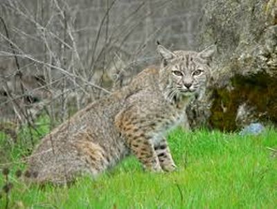 Bobcat released after being caught in south Lincoln building