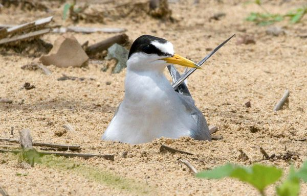 USFWS proposes removing Interior Least Tern from endangered list