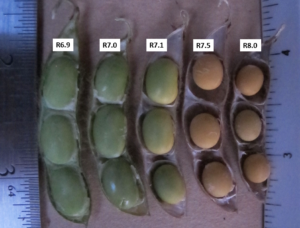 Taking Note of the Ending Reproductive Stages of Your Soybean Crop
