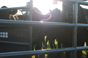 Cattle Producers Event to Offer Demo and Dinner