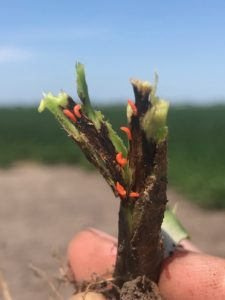 Grower Input Sought at Mar. 2 Soybean Gall Midge Meeting