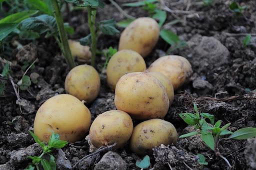 Nebraska February 1 Potato Stocks
