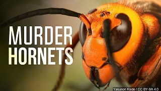 (AUDIO) Burk discusses Murder Hornets and their impact on Declining Honeybee Population