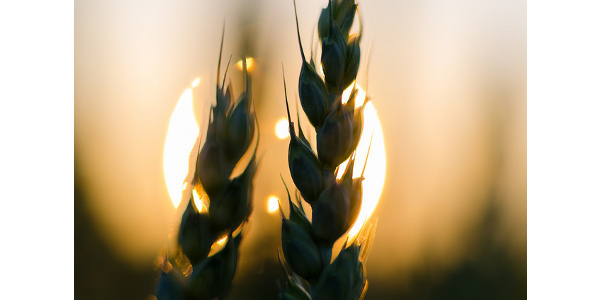 Industry to host HRW virtual wheat tour