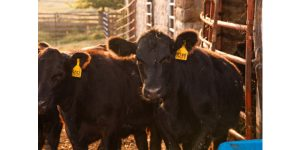 Audio: Swift Trading On The Cattle Market
