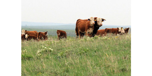 Caring for bulls during the breeding season
