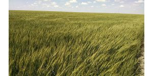 K-State to host virtual wheat field day May 27-28