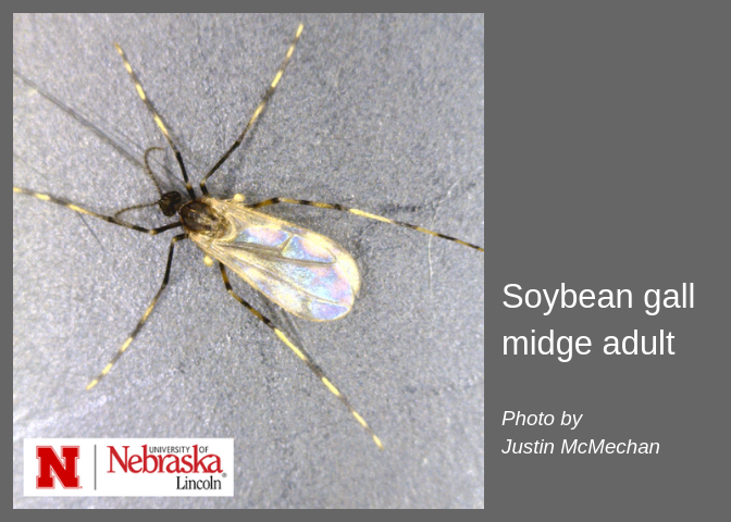Soybean Gall Midge Adults Emerge in Cuming, Saunders County