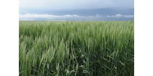 Wheat breeder takes look at upcoming releases