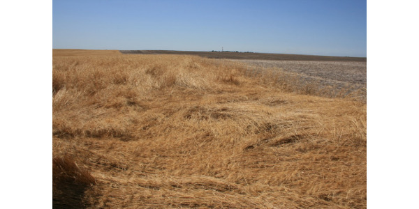 Wheat stem sawfly infestations impact harvest