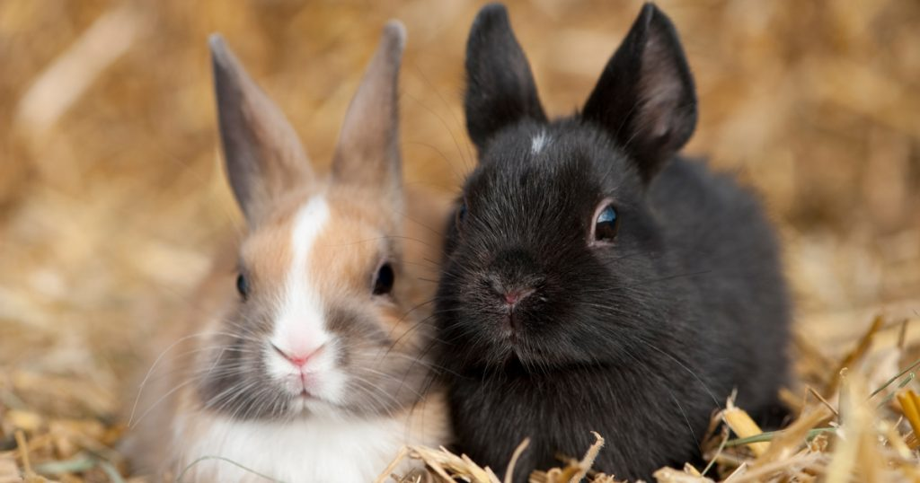 NDA encourages rabbit owners to watch for hemorrhagic disease
