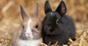 NDA encourages rabbit owners to watch for hemorrhagic disease