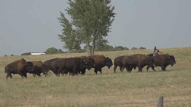 Phelps County Bison roundup making progress!