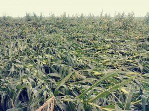 Farmers assess losses after storm flattened cornfields