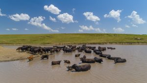 Mitigating heat stress in cattle via the Nebraska Mesonet