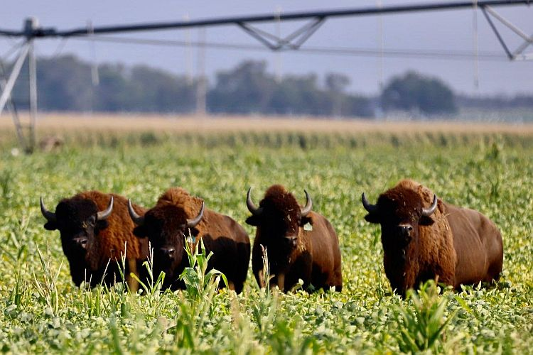 VIDEO: Job of corralling bison may go to experts